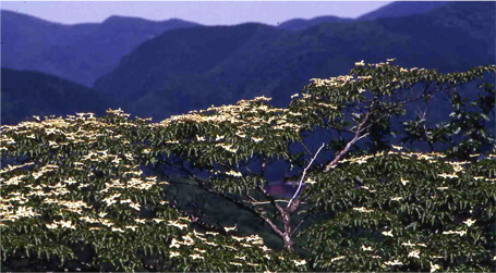 Summer...Dogwood flowers cover the mountainside